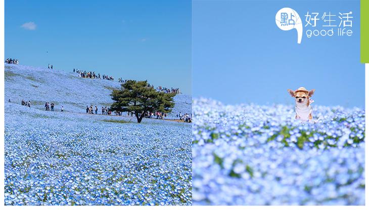 東京美景無極限!原本粉紅色的櫻花已換成的全藍色的粉蝶花海,4月24日開滿!