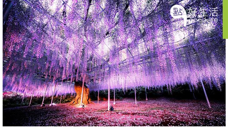 日、台4大漫天紫藤花圍繞必到新景點,重現《阿凡達》靈魂樹靚景影相打卡不靠特技!