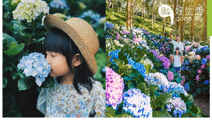 這是台灣還是日本?台東青山農場繡球花季來襲! 誰說繡球花一定要配藍天,配上雨天日系清新感飆升