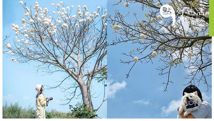 【唯美又夢幻】台灣雲林美人樹結果! 純白一團團棉花開滿樹,恍如白雲被卡在樹上!