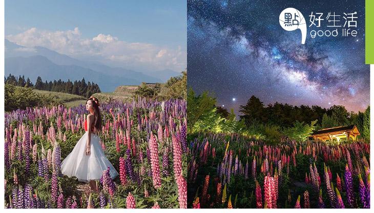 【花控必去】台灣福壽山農場魯冰花全盛開了! 外形恰如大型薰衣草一樣,粉色系花兒超有童話感!