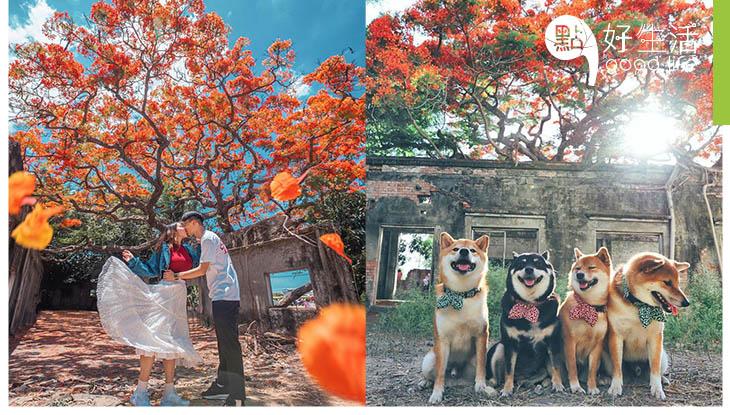 【美得過份!】台灣高雄大湖番茄會社鳳凰花開得滿滿!樹木像被火焰燒紅了一樣,與廢墟配搭秒變唯美頹廢風!