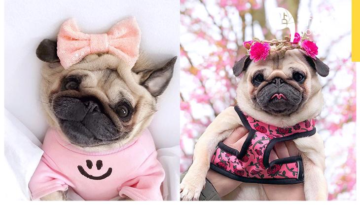 「其實我很美」誰說鄒皮就是醜?史上不只最愛美,也擁有過千造型的八哥狗狗!
