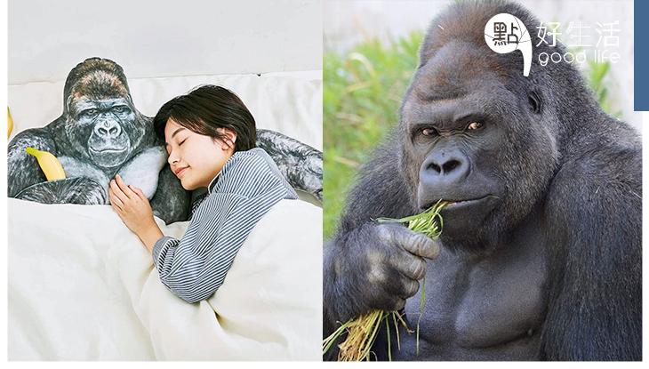 強而有力臂彎:日本動植物園推出「猩猩攬枕」主角是如帥氣男模的駐場名猩猩!