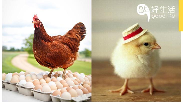 網購一隻母雞變成一千隻?紐西蘭有人烏龍$1誤買一千隻雞,最後牠們的命運被宰還是……?