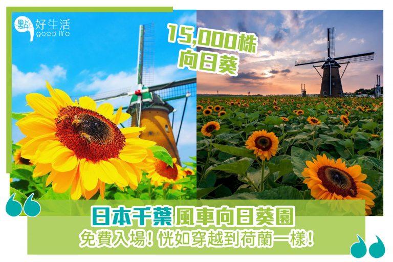 日本千葉風車向日葵園,免費入場! 恍如穿越到荷蘭一樣!15,000株向日葵